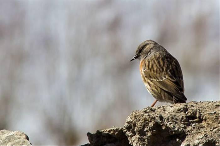 Robin Accentor, Rumbak, Ladakh (Russell Scott)