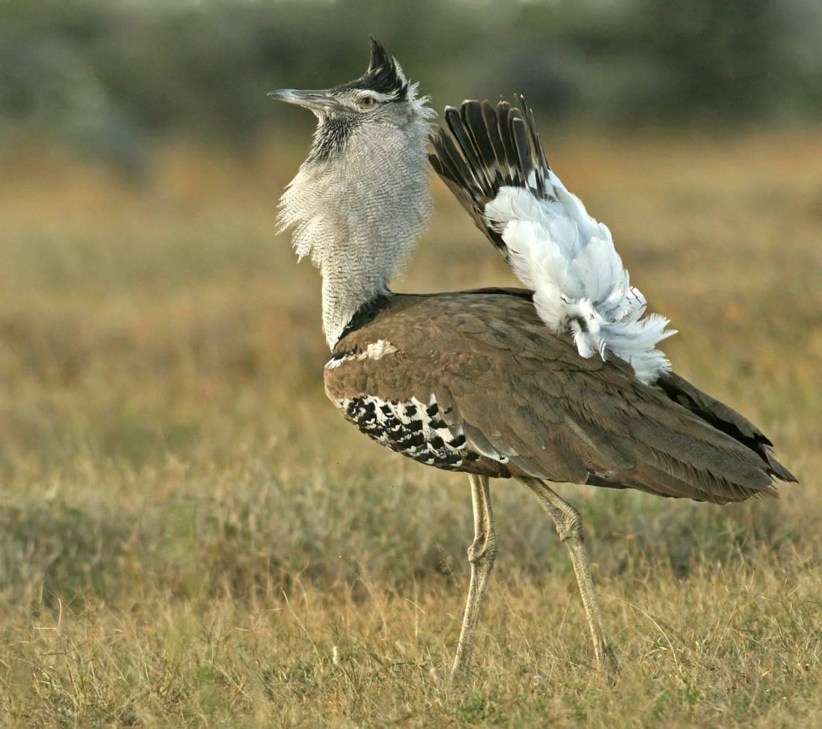 Kori Bustard, Kenya. Shutterstock 97767218