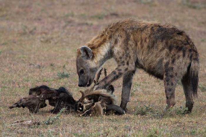 Spotted Hyena at dusk (Colin Brown)
