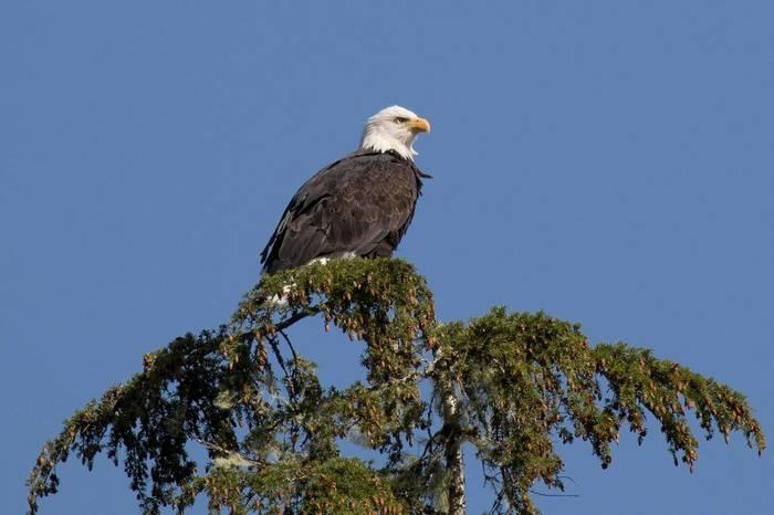 Bald Eagle (Chris Hutchinson)
