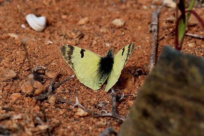 Greenish Black-tip, Fuerteventura (Ken-Bailey)