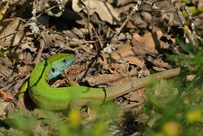 Green Lizard, Martin Hrouzek