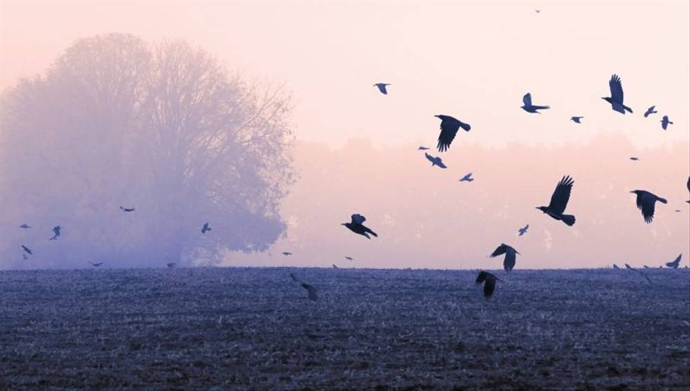 Rooks flying