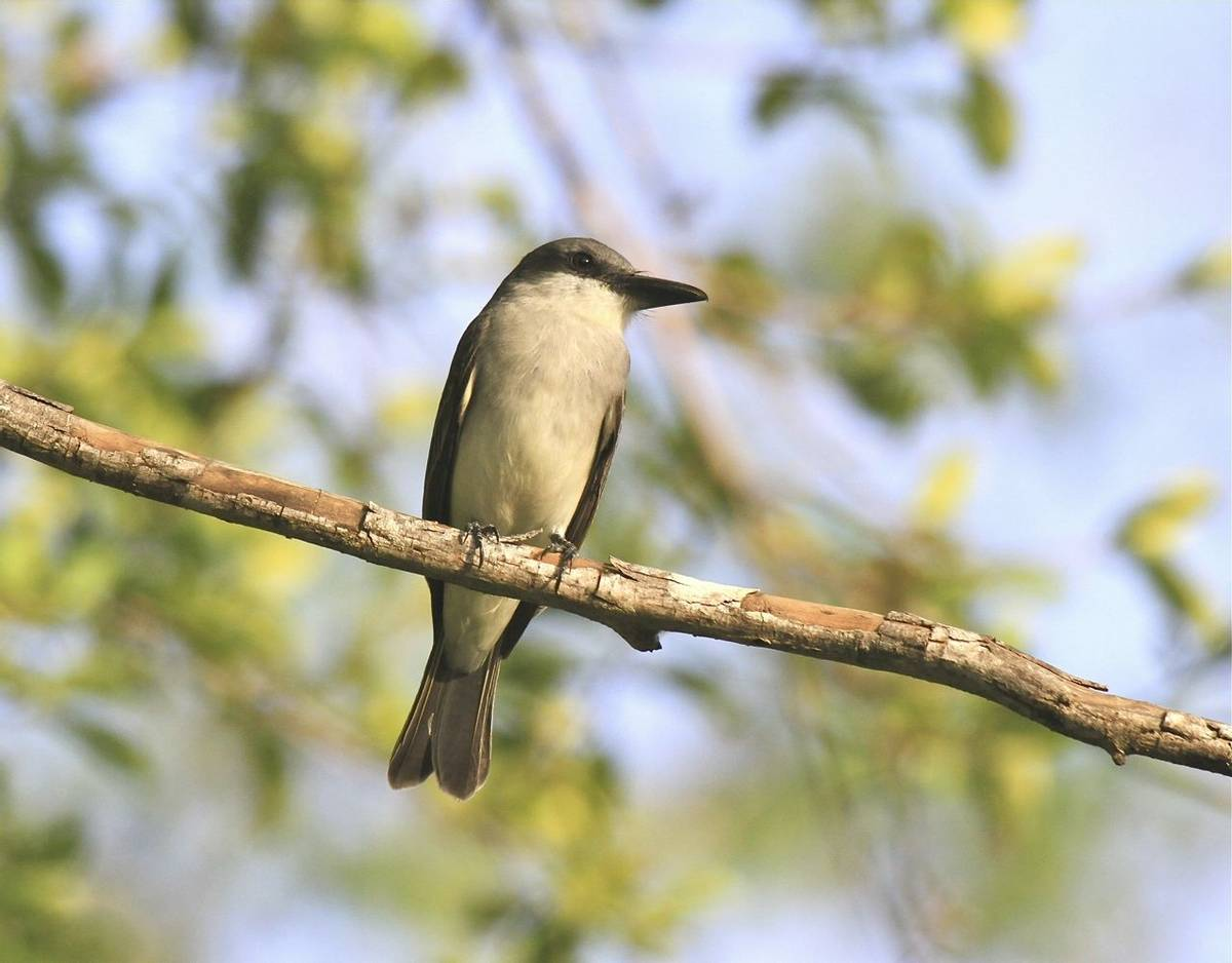 Grey Kingbird, St Lucia