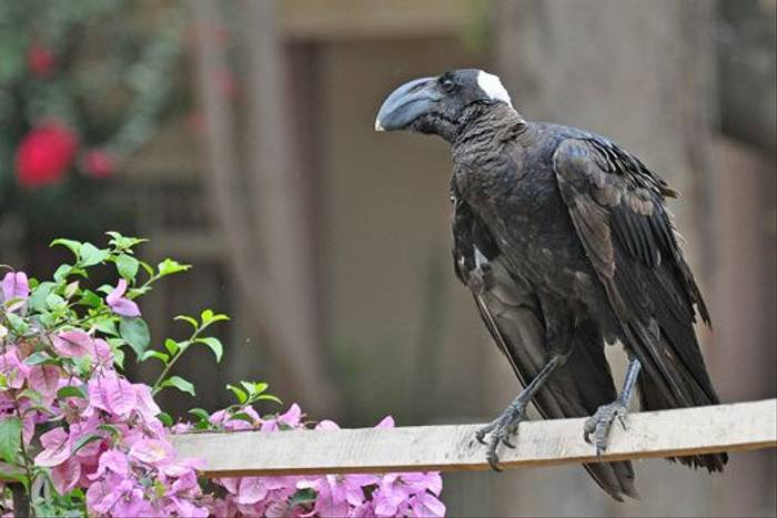 Thick-billed Raven (Tim Melling)