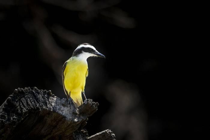 Great Kiskadee, Russell Millner, Pantanal in Pictures 01SEP16