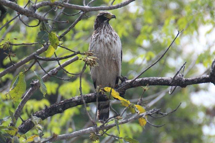 Crested Serpent-eagle (Duncan Woodhead).jpg