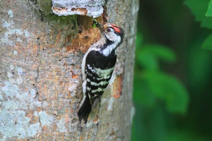 Lesser Spotted Woodpecker Shutterstock 179724269