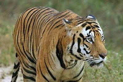 Bengal Tiger by Raghu Kulkarni