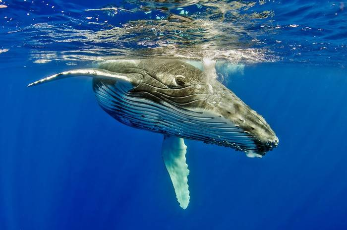 Humpback Whale shutterstock_384104413.jpg