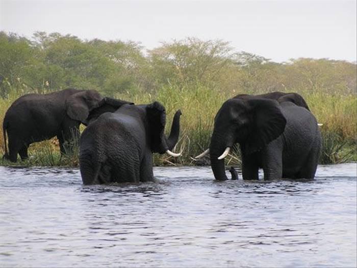 Elephants (Thomas Mills)