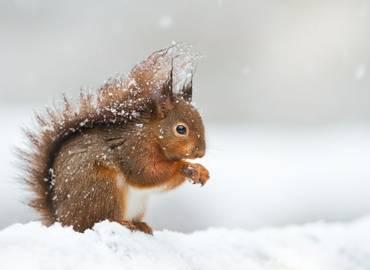 Winter Wildlife of the Cairngorms