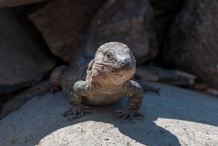 Gran Canaria Giant Lizard, Gallotia stehlini shutterstock_1207421224.jpg