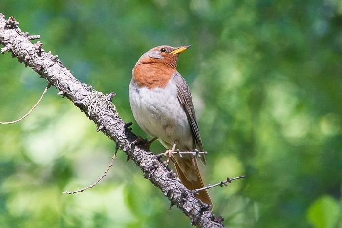 Red-throated Thrush (Alan Curry)