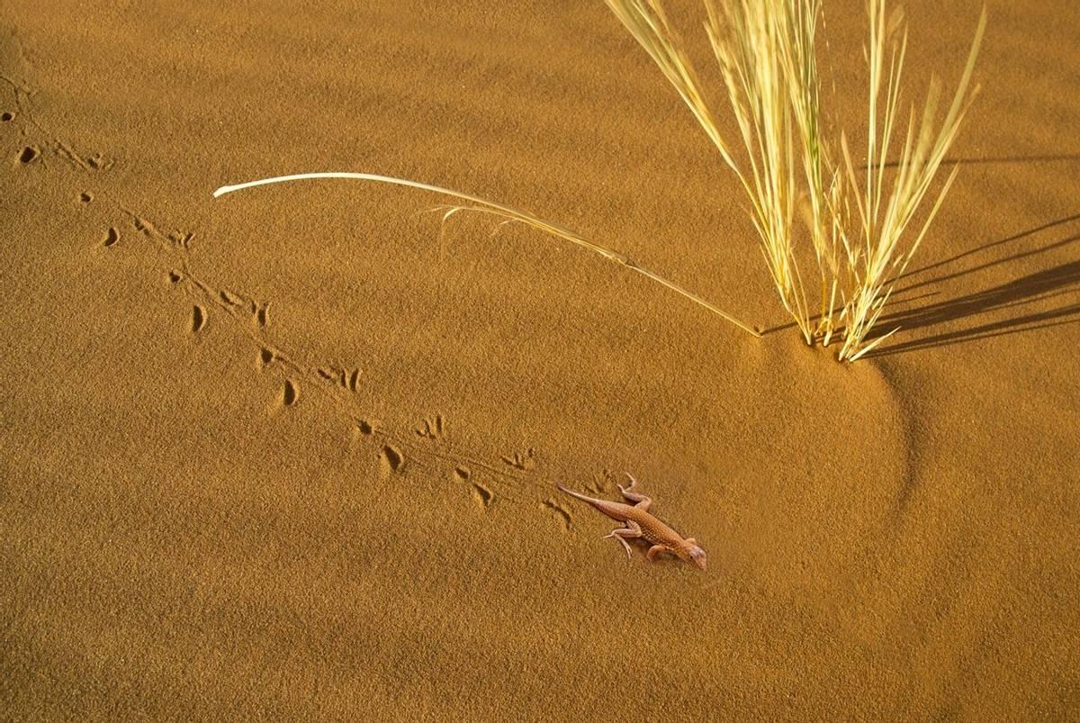 Shovel-snouted Lizard (Simon Shore)