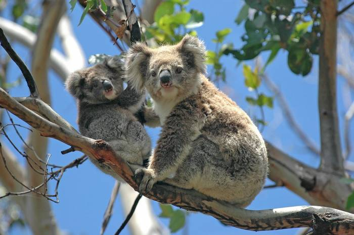Australia (Koalas, Australia)