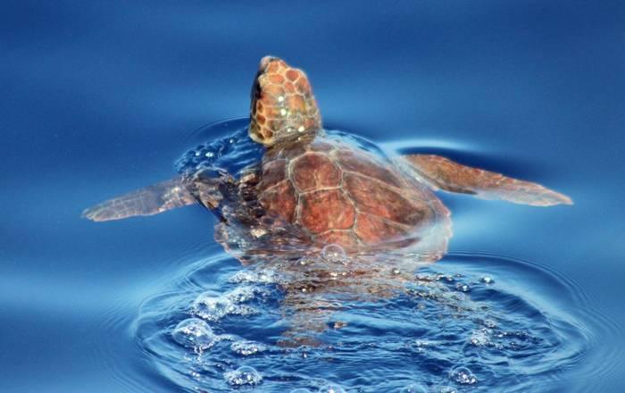 Loggerhead Turtle © Tom Mabbett