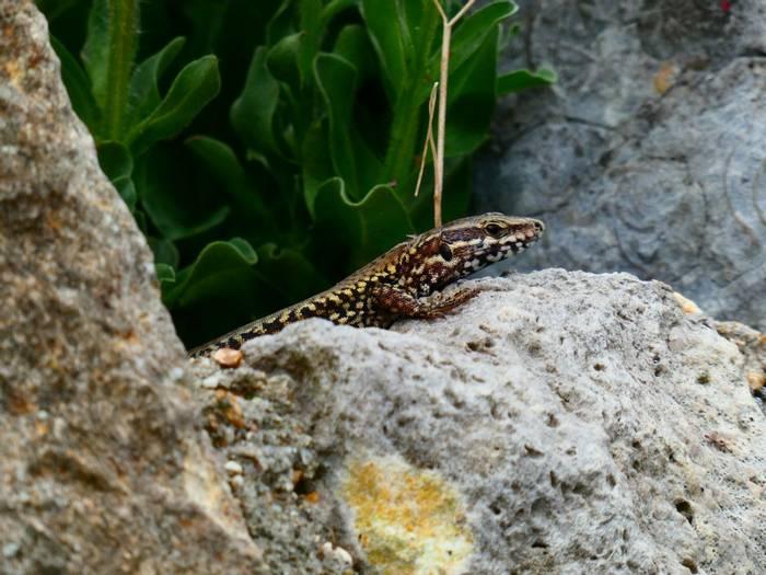 Wall Lizard (Matt Collis)