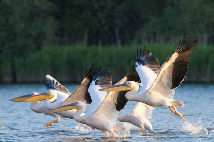 White Pelicans, Romania. shutterstock_98077766.jpg