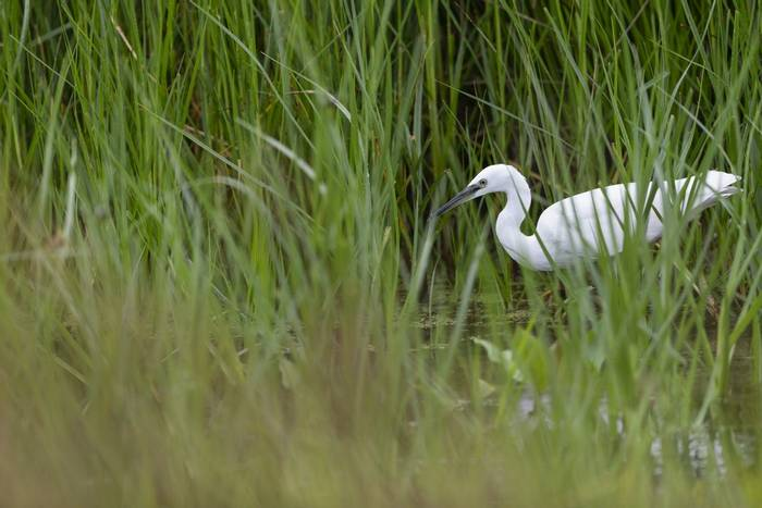 Little Egret (Oliver Smart)