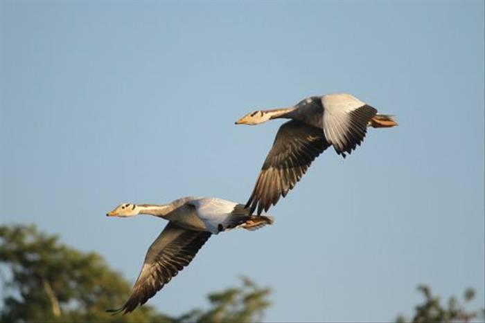 Bar-headed Geese (David Raju)