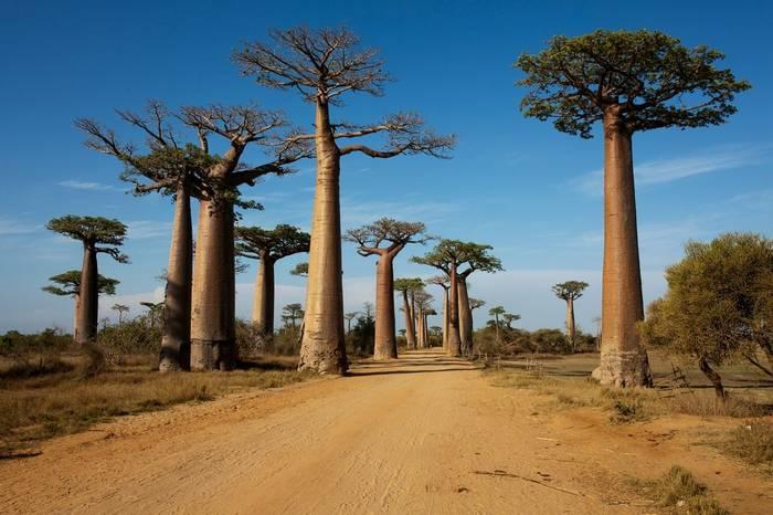 Avenue of the Baobabs, Madagascar (Jonas Christiansen)