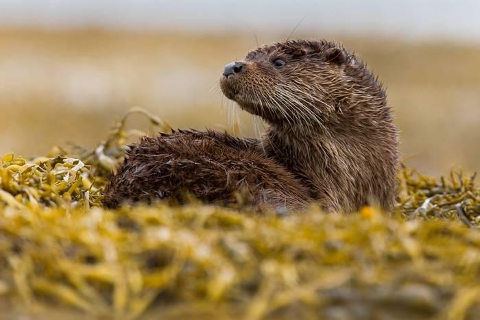 Otter, Scotland shutterstock_157171826.jpg