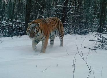 Realm of the Siberian Tiger