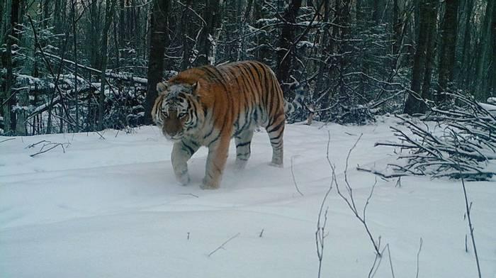 Camera Trap Photo Of Siberian Tiger