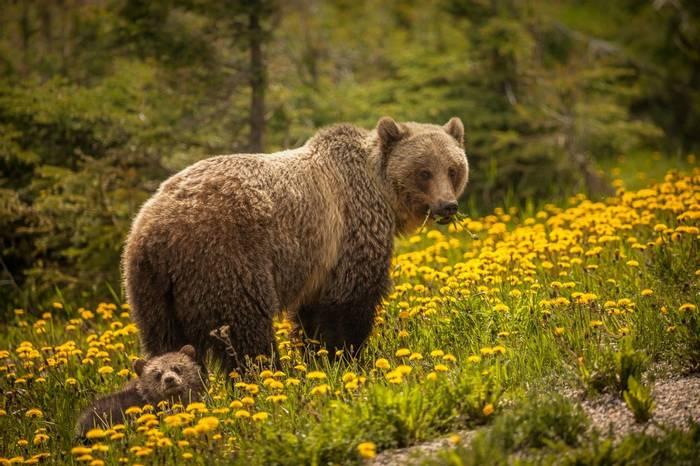 Grizzly Bear Canada shutterstock_1285407784.jpg