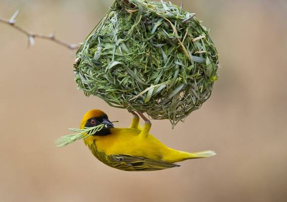 Southern Masked Weaver (Simon Shore)
