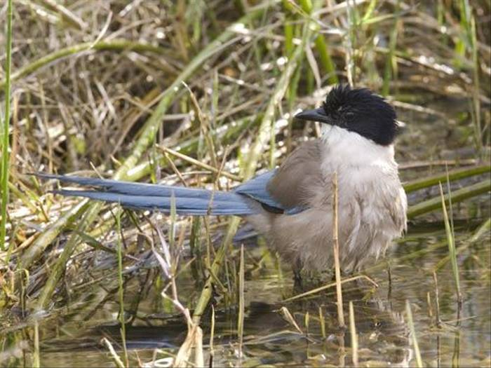 Azure-winged Magpie (Kevin Elsby)