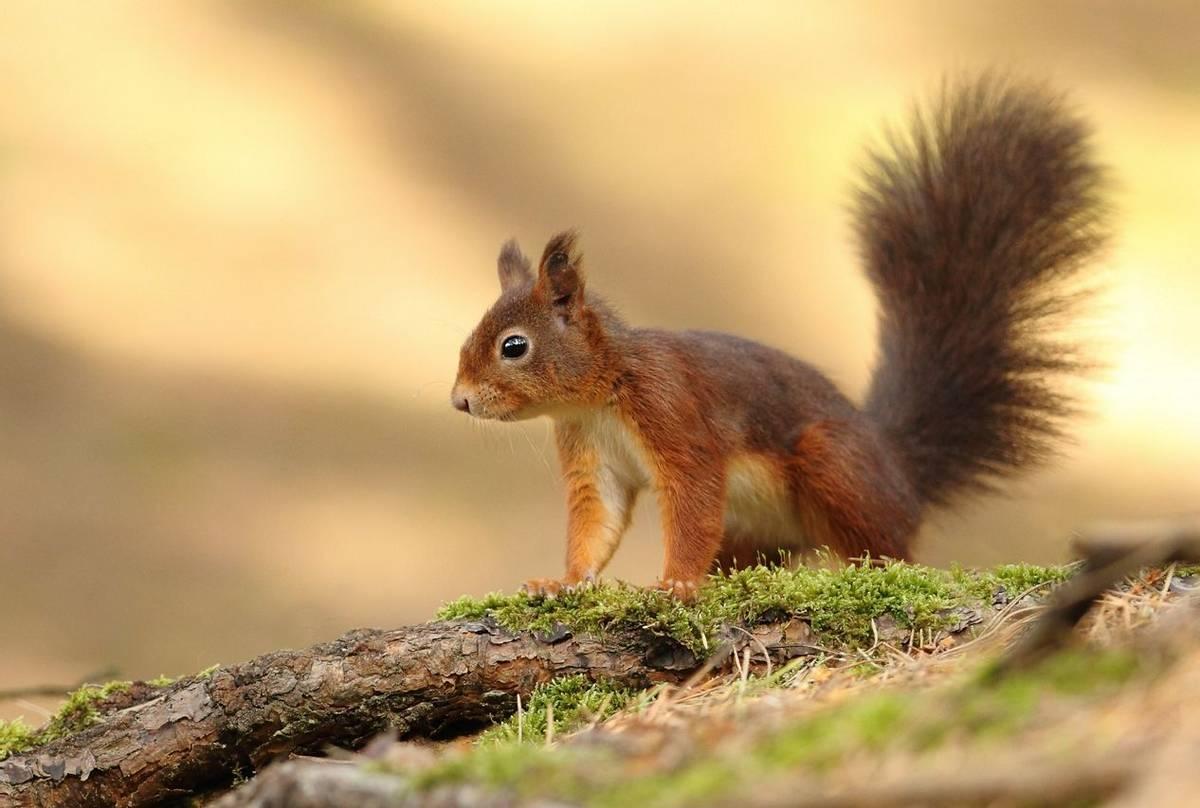 Red Squirrel shutterstock_115747657.jpg