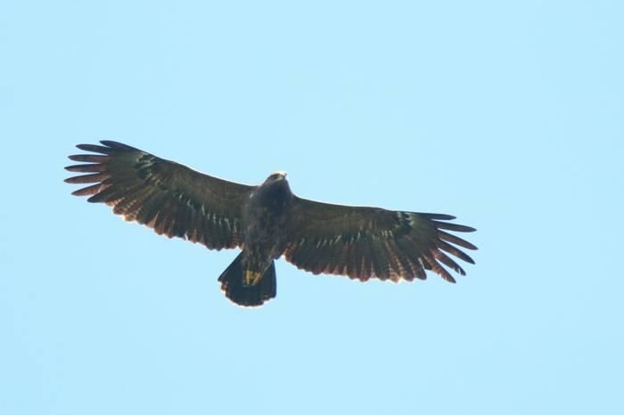 Lesser Spotted Eagle (Wim Bovens)