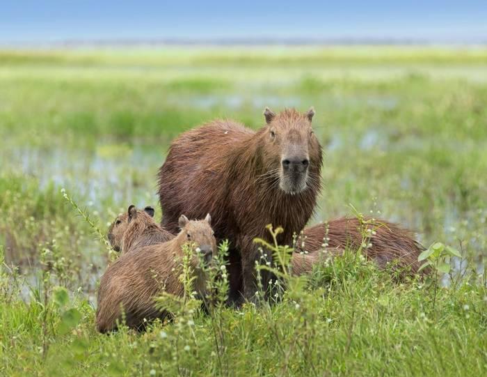 Capybara, Los Llanos, Venezuela Shutterstock 109809473