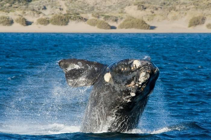 Right Whale, Argentina (Eduardo Rivero).jpg