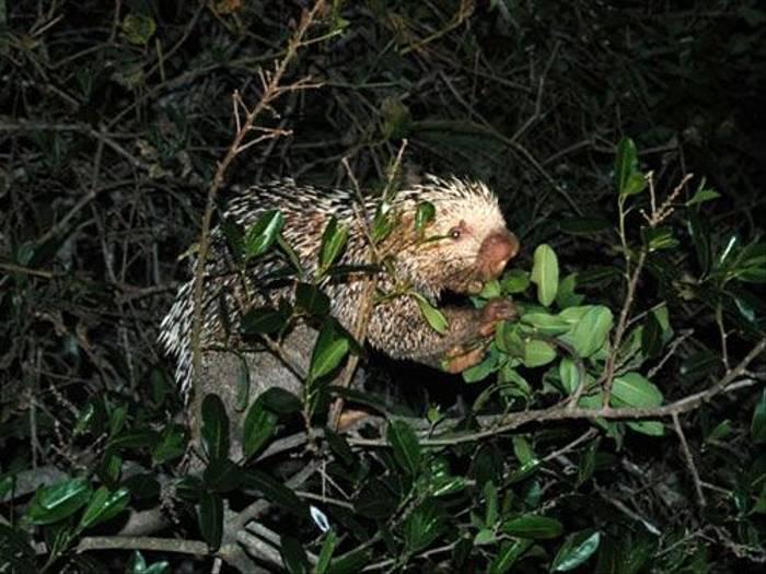 Brazilian Porcupine (Gerald Broddelez)
