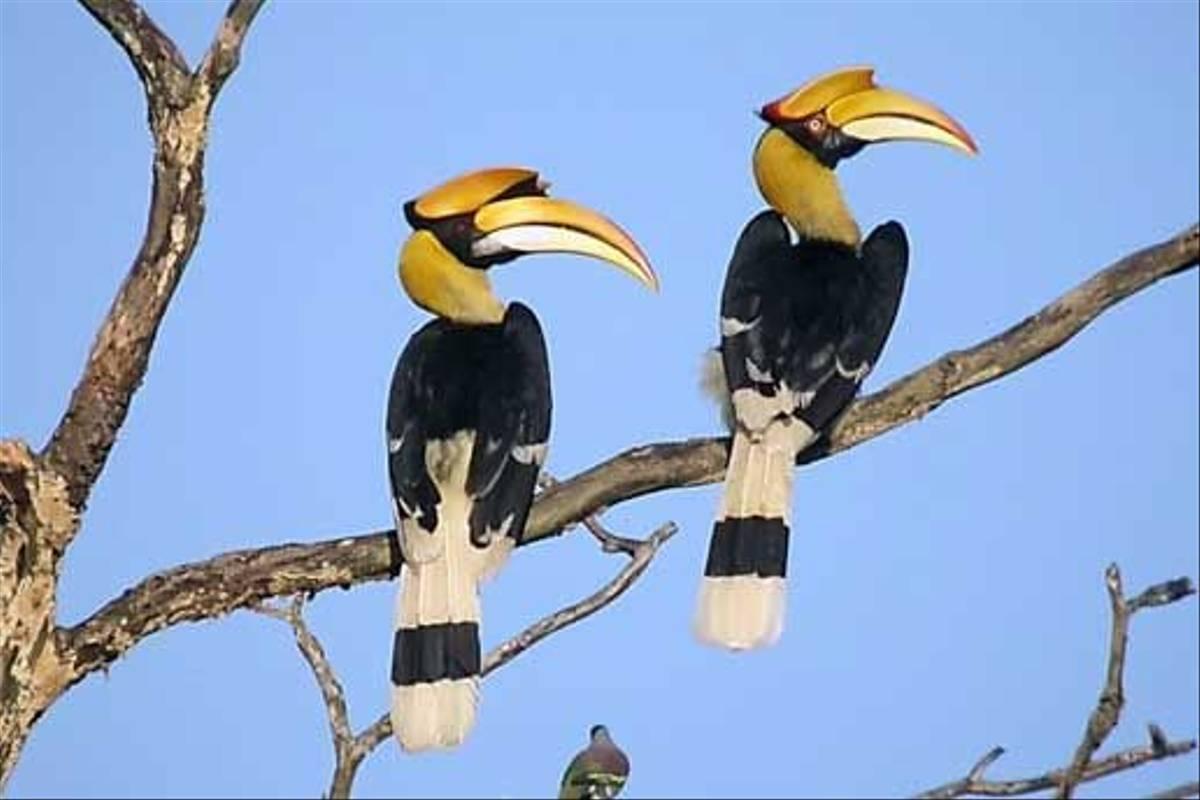 Great Hornbill (S. Y. Phanich)