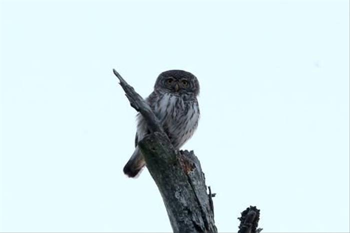 Pygmy Owl (Gordon Small)