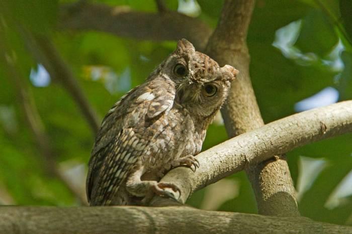 Af Scops Owl Gambia 11.10   1
