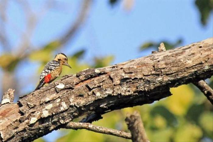 Fulvous-breasted Woodpecker (Janice Fiske)