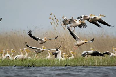 Great White Pelicans, Danube Delta by Mihai Dancaescu