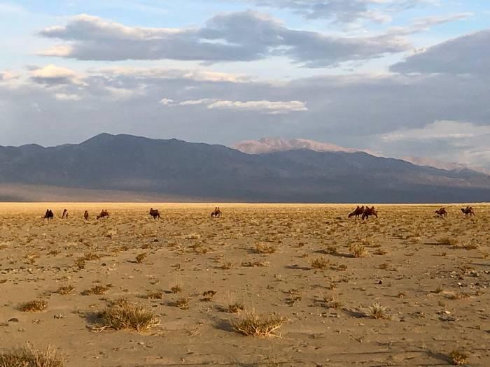 Camels in habitat (Adam Dudley).jpg