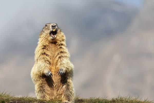 Alpine Marmot shutterstock_1618396186.jpg