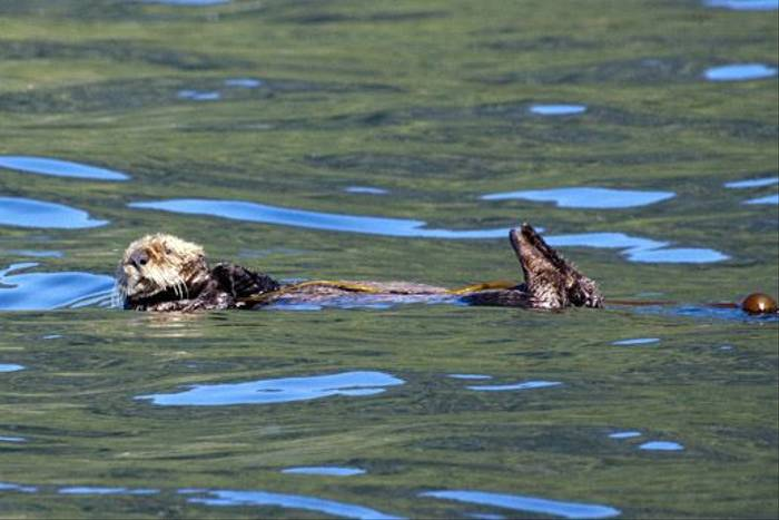 Sea Otter (Lee Morgan)