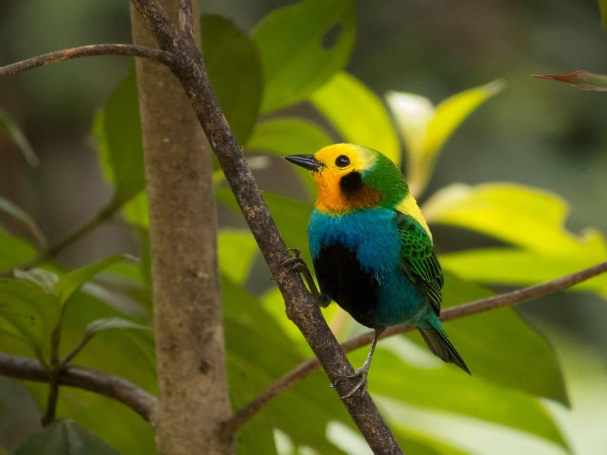 Multicoloured Tanager (Daniel Orozco)