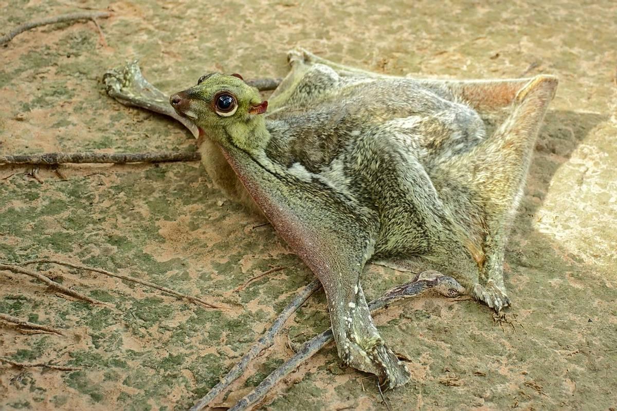 Sunda Colugo, Borneo Shutterstock 761595706
