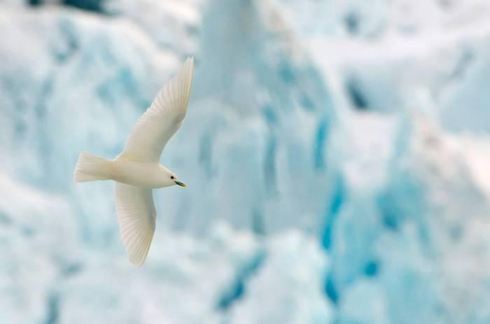 Ivory-Gull,-shutterstock_1254173932.jpg