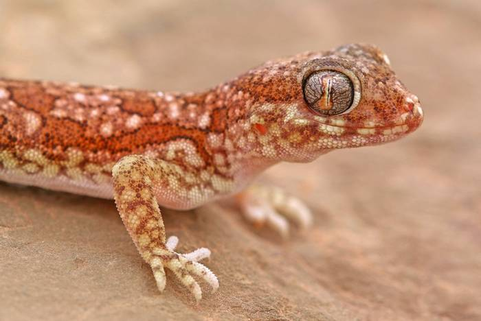 Northern Elegant Gecko (Stenodactylus mauritanicus)