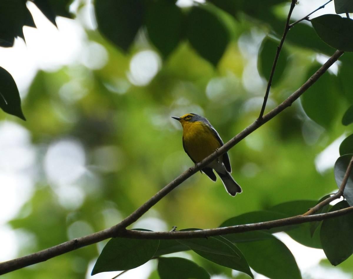 St Lucia Warbler (Ed Drewitt).jpeg